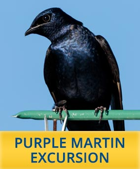 Purple Martin Cruise